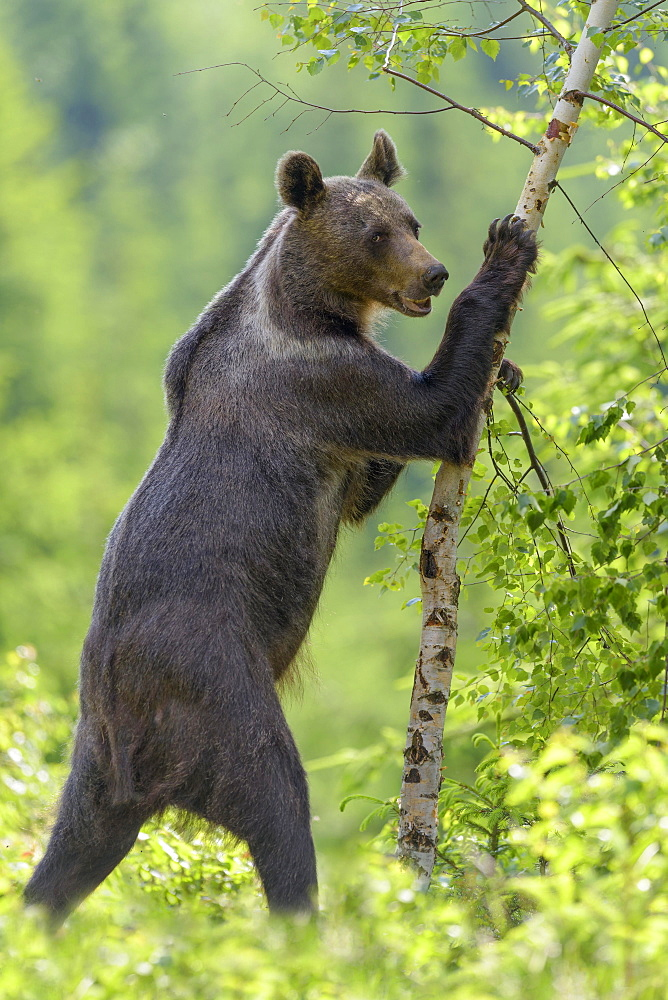 Brown bear (Ursus arctos), standing erect, touching a tree in spruce forest, Mala Fatra, Little Fatra, Slovakia, Europe