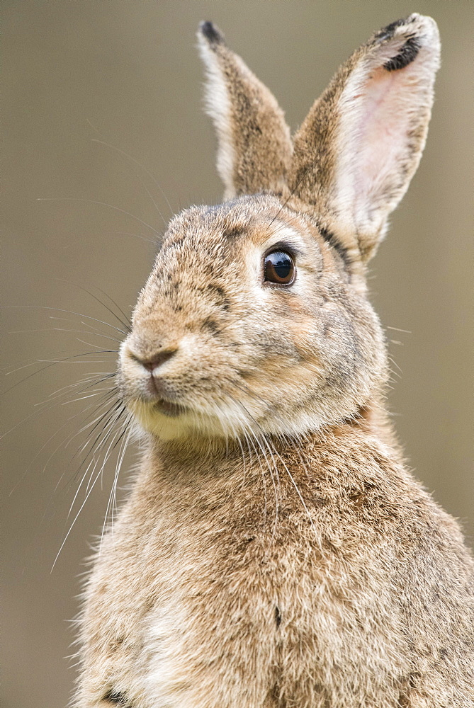 European rabbit (Oryctolagus cuniculus) with ears perked up, portrait, Lower Austria, Austria, Europe