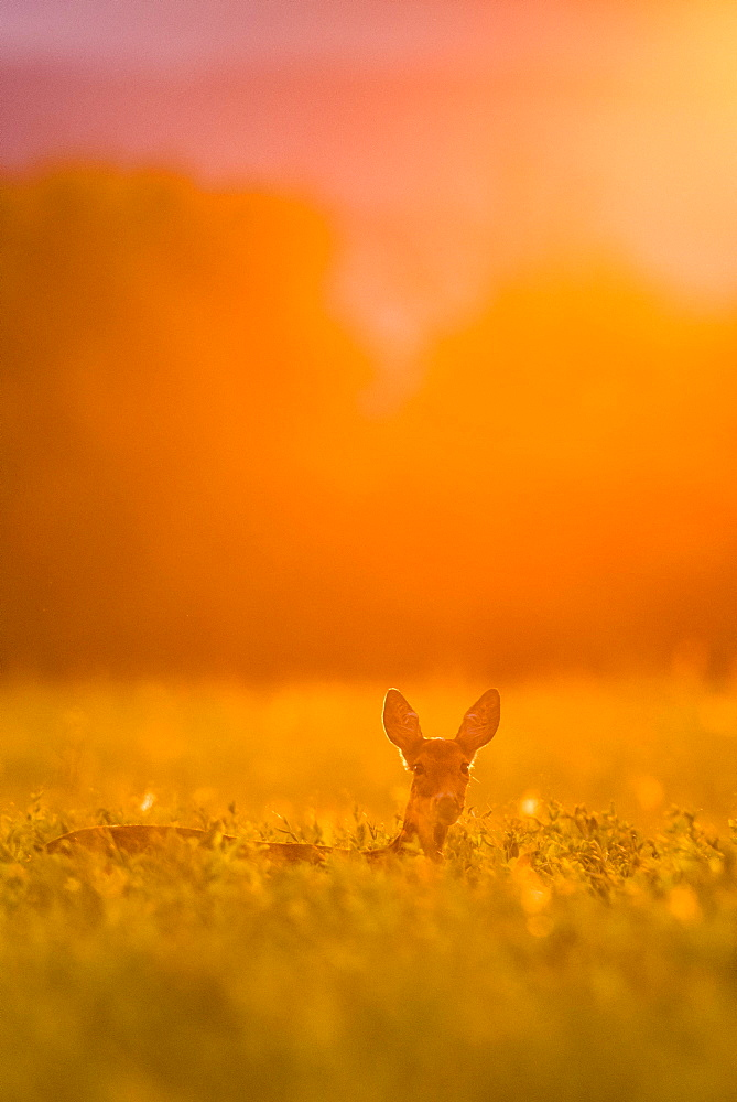Deer (Capreolus capreolus) in a field, evening light, Achau, Lower Austria, Austria, Europe