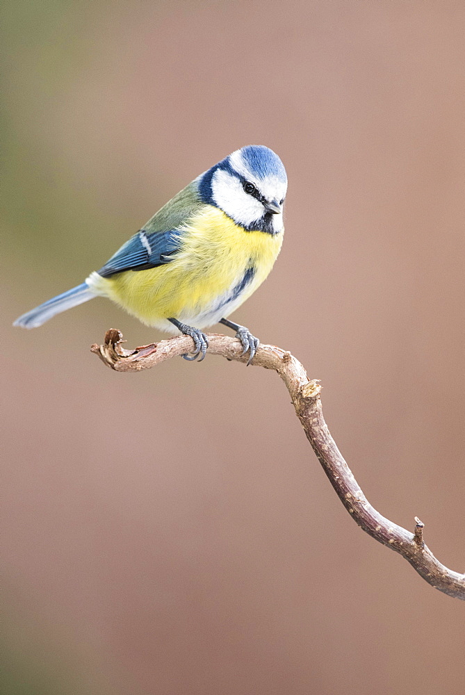 Blue Tit (Cyanistes caeruleus) sitting on branch, Lower Austria, Austria, Europe