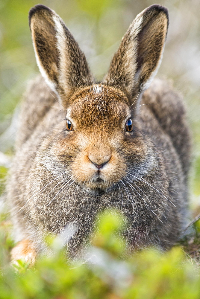 Mountain hare (Lepus timidus) sits in habitat, summer coat, Cairngroms National Park, Highlands, Scotland, Great Britain