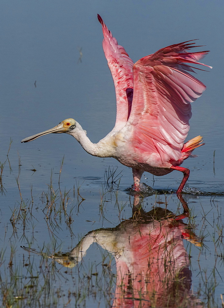 Roseate spoonbill (Platalea ajaja) walking in shallow water, Pantanal, Mato Grosso do Sul, Brazil, South America
