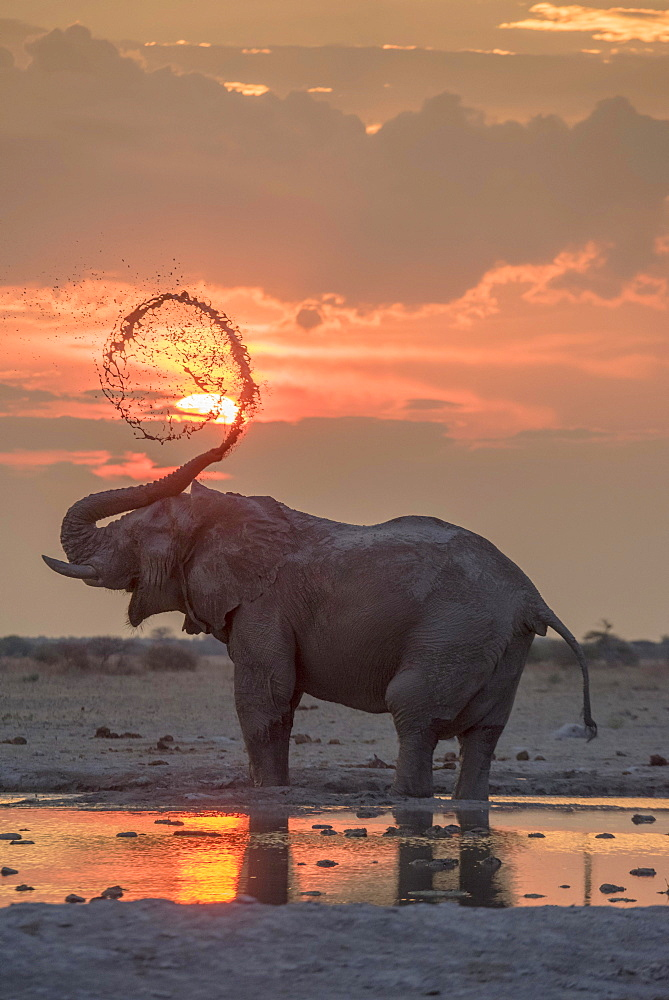 African elephant (Loxodonta africana), mud bath at sunset at a waterhole, Nxai Pan National Park, Ngamiland District, Botswana, Africa
