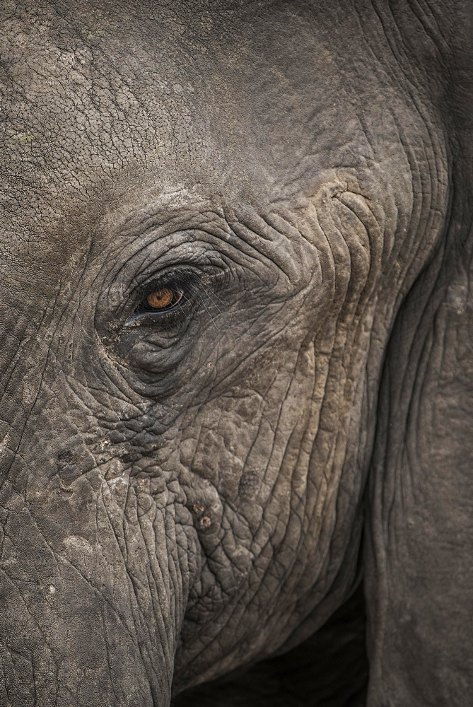 African elephant (Loxodonta africana), eye, close-up, Marabou Pan, Chobe District, Botswana, Africa