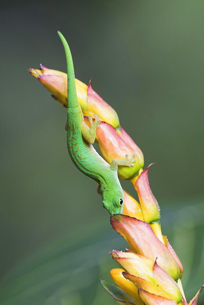 Small day gecko (Phelsuma astriata), Praslin, Seychelles, Africa