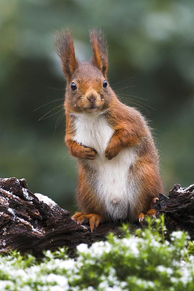 Eurasian red squirrel (Sciurus vulgaris) in winter, Emsland, Lower Saxony, Germany, Europe