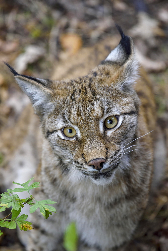 Eurasian lynx (Lynx lynx), portrait, Parc Animalier de Sainte-Croix, near Rhodes, Moselle, Lorraine, France, Europe