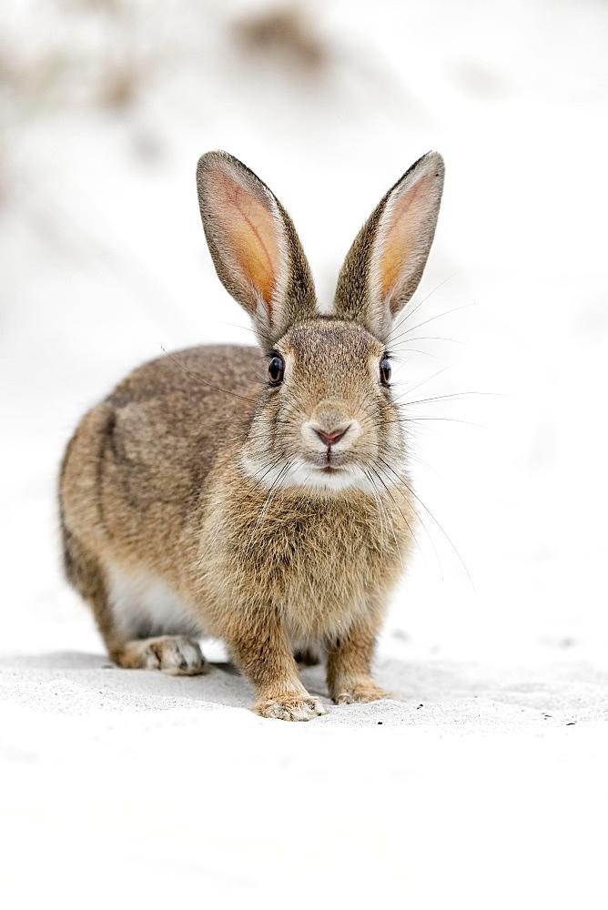 European rabbit (Oryctolagus cuniculus) in Sand Dune, National Park Vorpommersche Boddenlandschaft, Mecklenburg-Western Pomerania, Germany, Europe - 832-379091