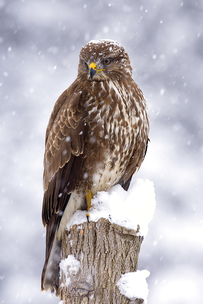 Buzzard (Buteo buteo) in the snow, Tyrol, Austria, Europe
