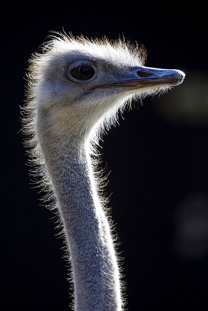 Ostrich (Struthio camelus), portrait, captive, Germany, Europe