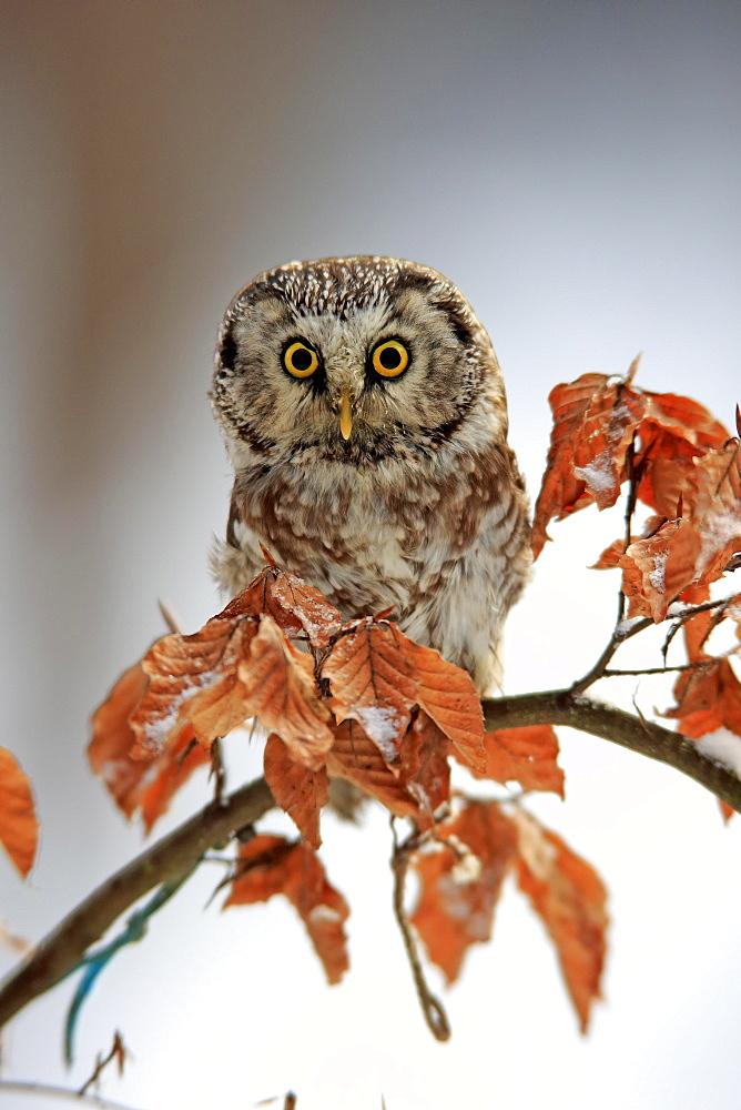 Tengmalm's owl (Aegolius funereus), adult on tree in winter, attentive, Zdarske Vrchy, Bohemian-Moravian Highlands, Czech Republic, Europe