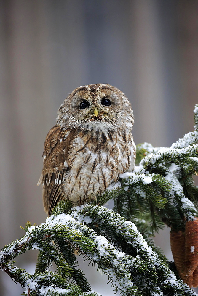 Tawny owl (Strix aluco), adult in winter on lookout, Zdarske Vrchy, Bohemian-Moravian Highlands, Czech Republic, Europe