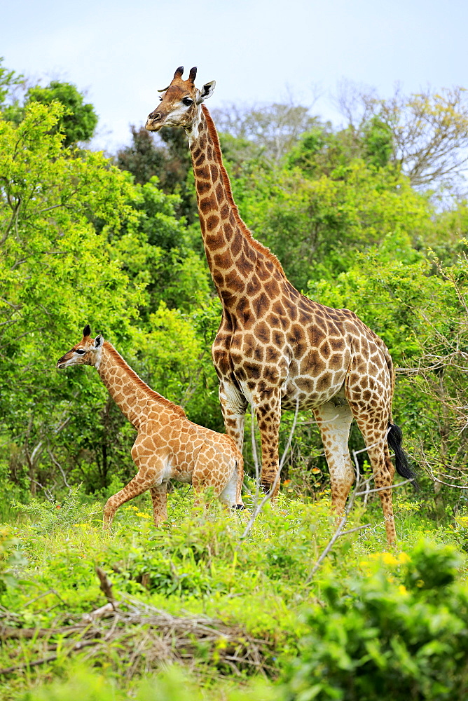 Cape giraffes (Giraffa camelopardalis giraffa), adult female with youngs, foraging, Saint Lucia Estuary, Isimangaliso Wetland Park, Kwazulu Natal, South Africa, Africa - 832-379261