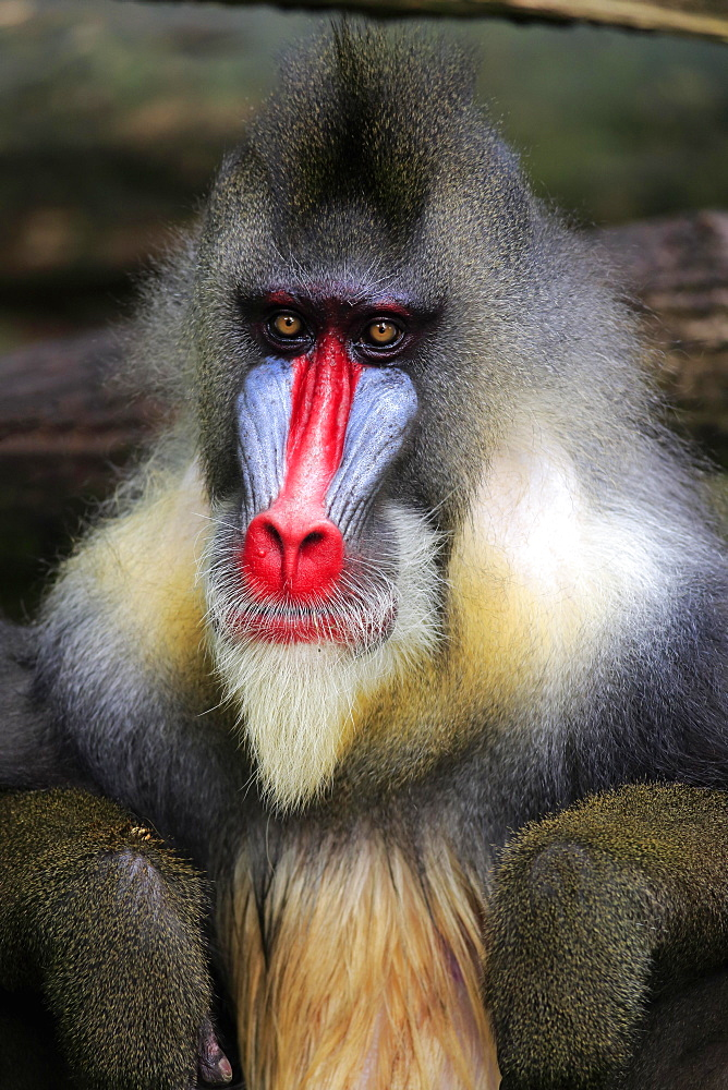 Mandrill (Mandrillus sphinx), adult, male, portrait, captive, native to Africa