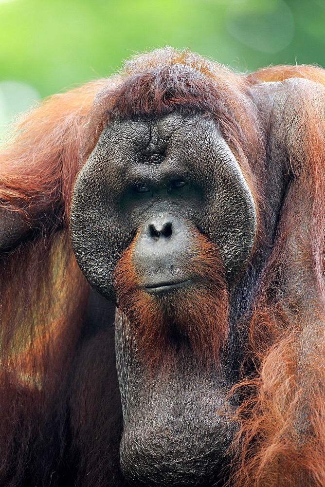 Orang Utan (Pongo pygmaeus), adult male on tree portrait, captive, occurrence Borneo