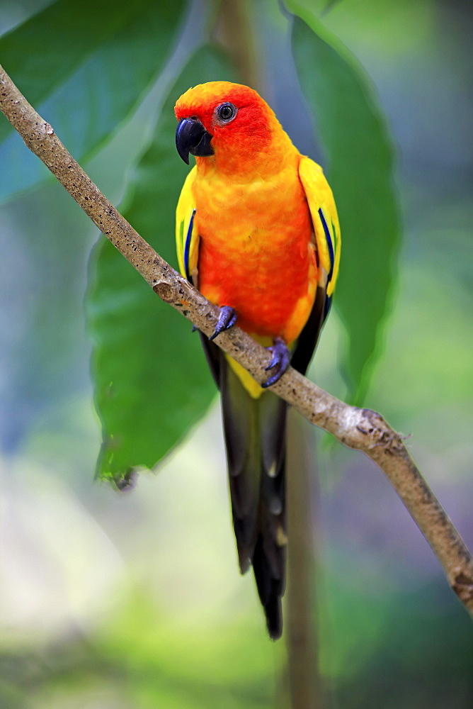 Sun conure (Aratinga solstitialis), adult on branch, captive, occurrence South America