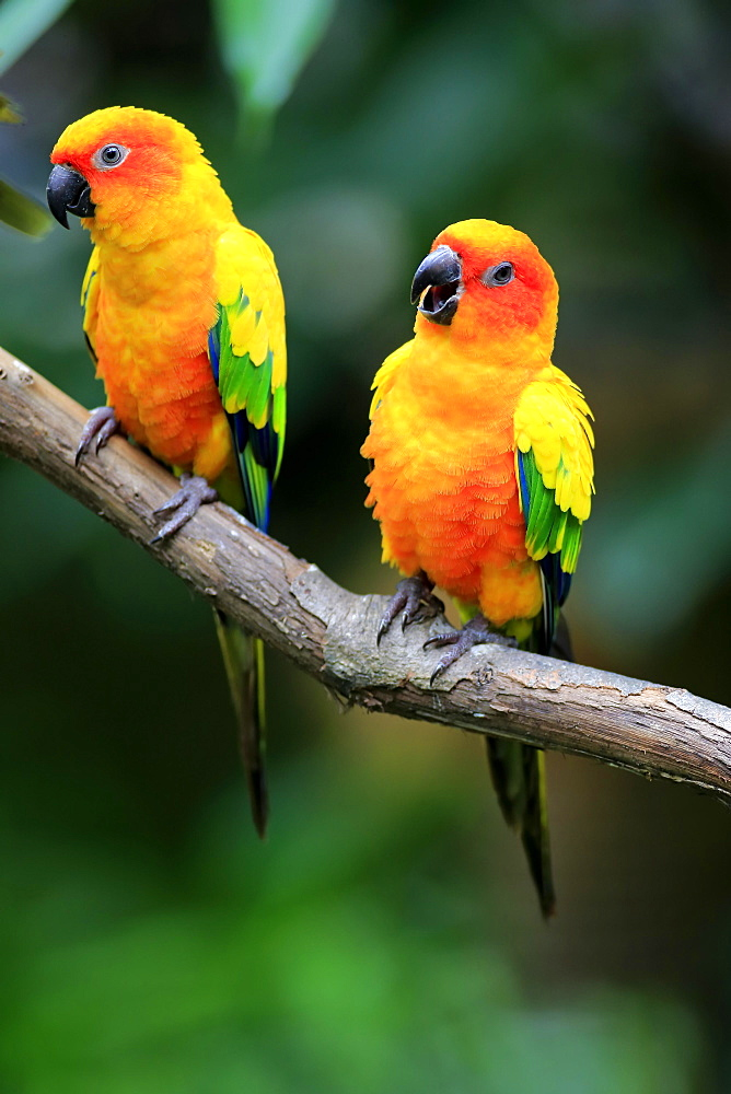 Sun conure (Aratinga solstitialis), adult couple on branch, captive, occurrence South America