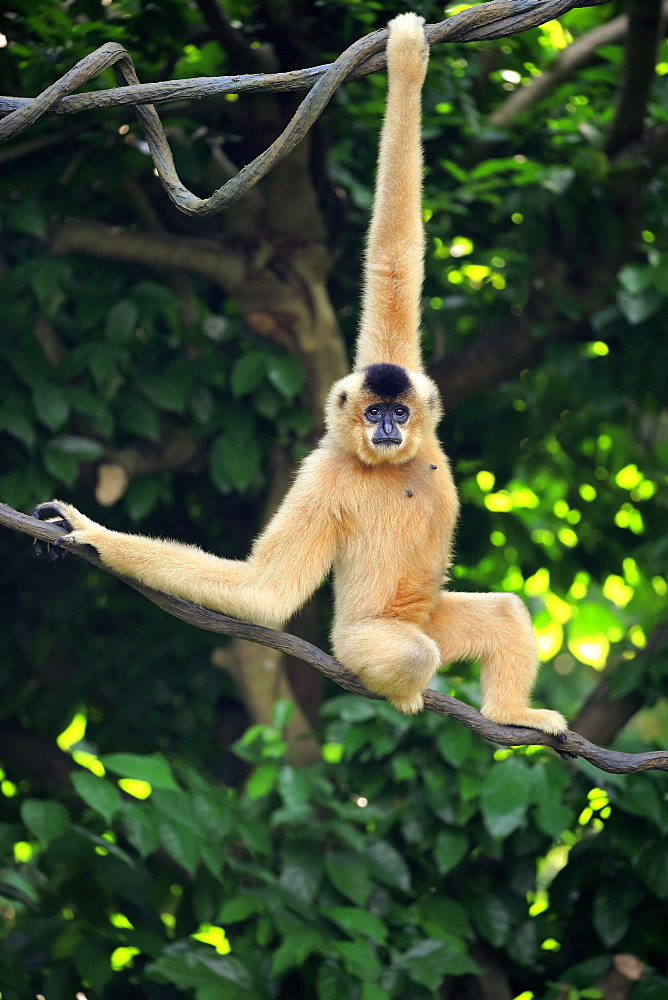 Southern Yellow-cheeked Crested Gibbon, (Nomascus gabriellae), adult, female, hangs in tree, swinging, captive, occurrence Asia