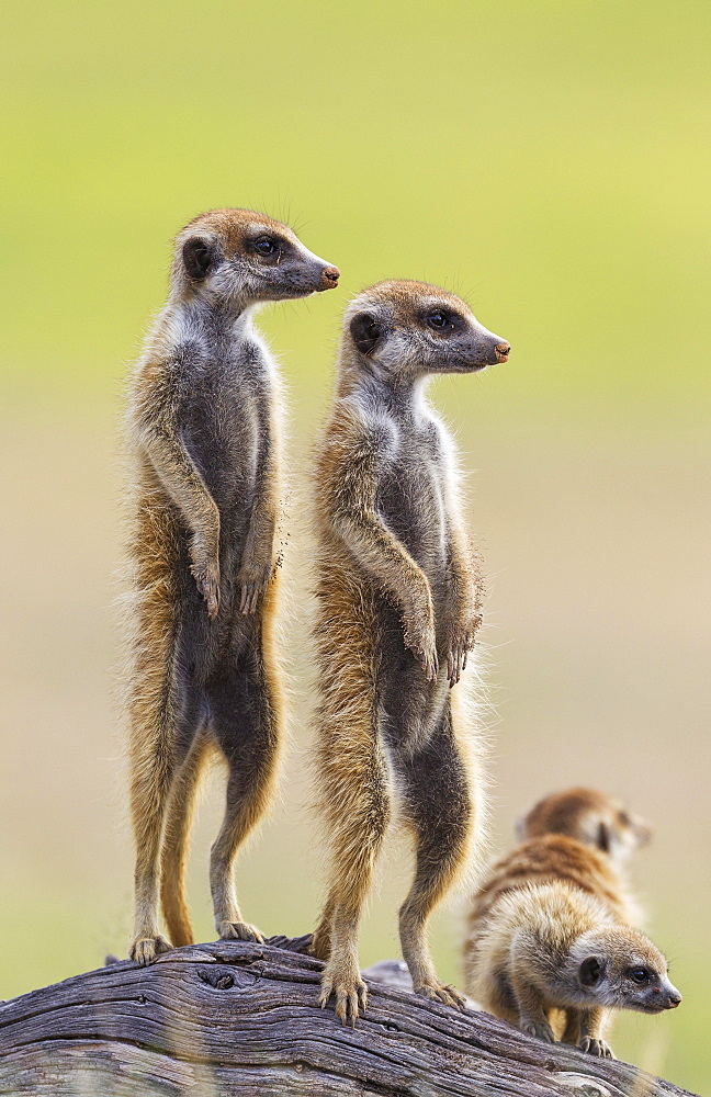 Suricates (Suricata suricatta), two adults with young on the lookout, during the rainy season in green surroundings, Kalahari Desert, Kgalagadi Transfrontier Park, South Africa, Africa