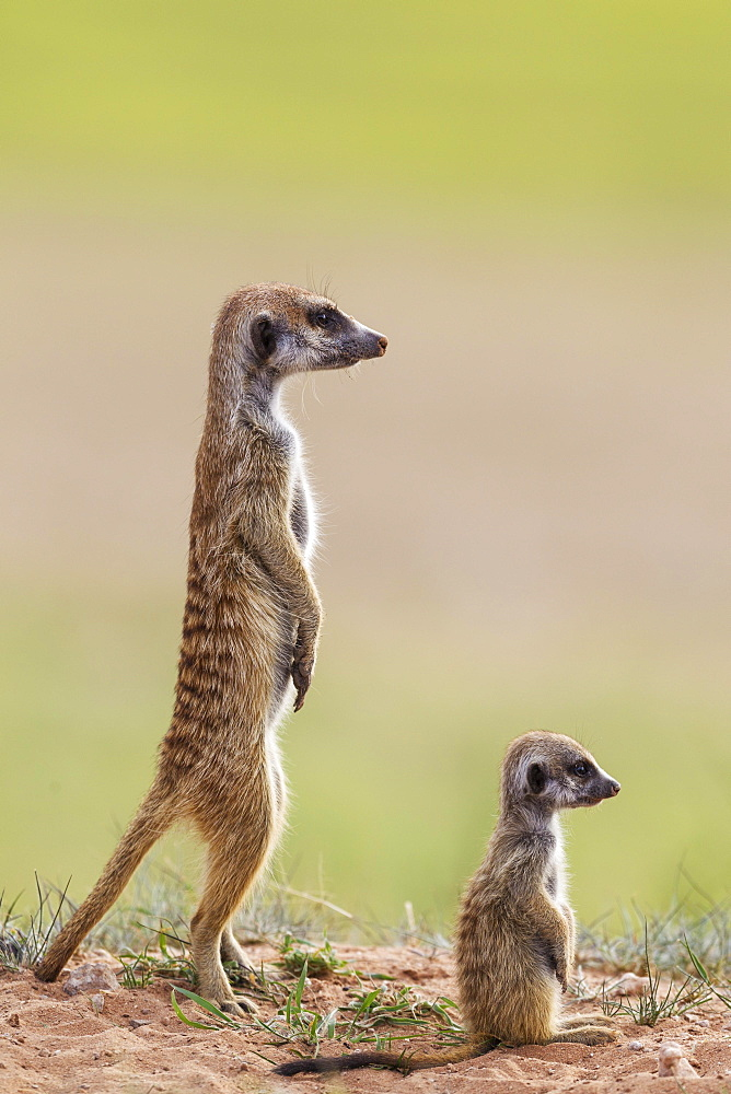Suricate (Suricata suricatta), adult with young on the lookout, during the rainy season in green surroundings, Kalahari Desert, Kgalagadi Transfrontier Park, South Africa, Africa - 832-379276