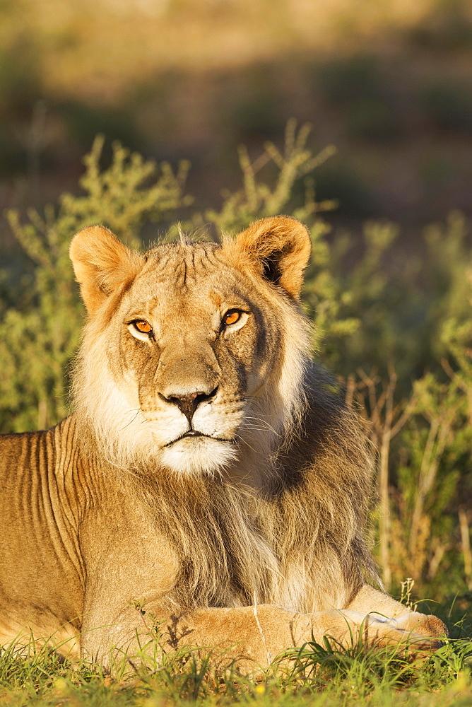 Lion (Panthera leo), male, resting, portrait, Kalahari Desert, Kgalagadi Transfrontier Park, South Africa, Africa