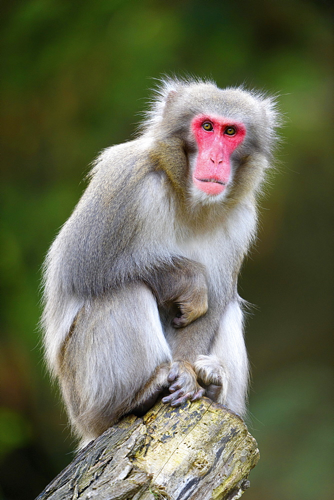 Japanese macaque (Macaca fuscata) sits on tree trunk, captive - 832-379292