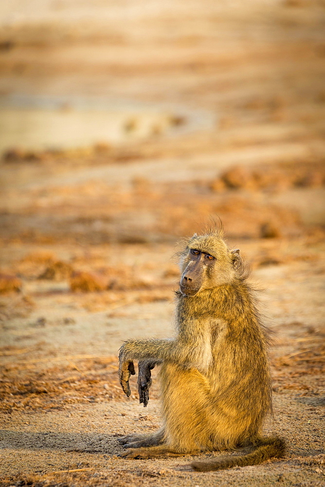 Chacma Baboon (Papio ursinus) sitting on the ground in the evening light, Chobe National Park, Chobe River, Botswana, Africa
