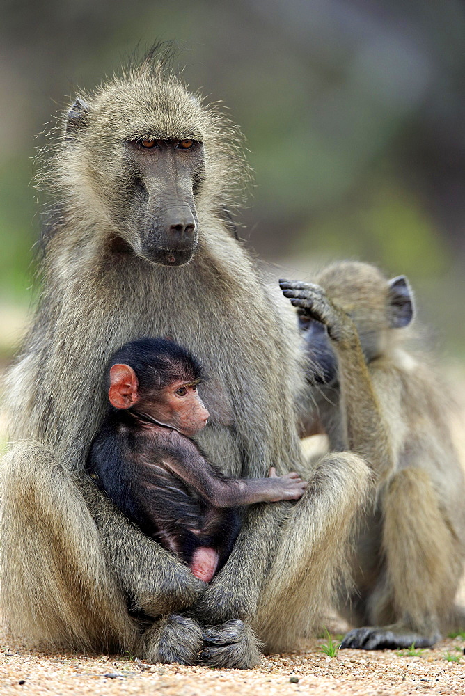 Chacma baboon (Papio ursinus), adult, female with young animal, Kruger National Park, South Africa, Africa