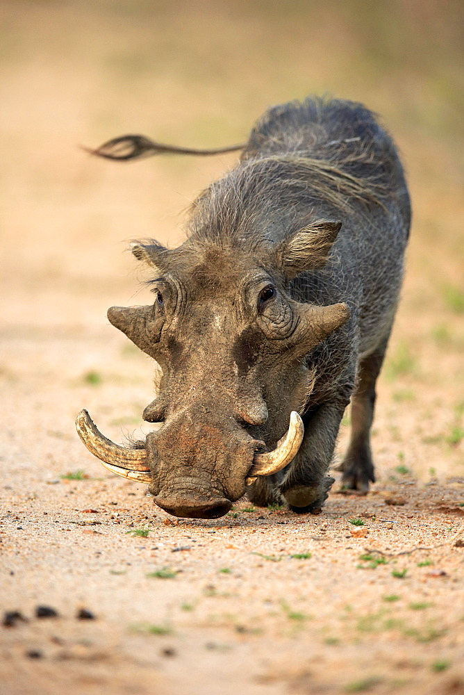 Warthog (Phacochoerus aethiopicus), adult foraging, Kruger National Park, South Africa, Africa