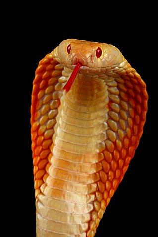 albino cobra darting