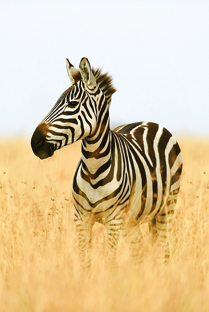 Plains zebra (Equus quagga) in tall grass, morning light, Masai Mara, Narok County, Kenya, Africa