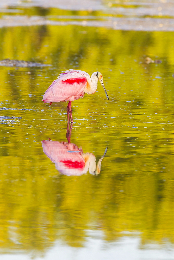 Roseate spoonbill (Ajaia ajaja), reflection in water, Ding Darling National Wildlife Refuge, Sanibel Island, Florida, USA, North America