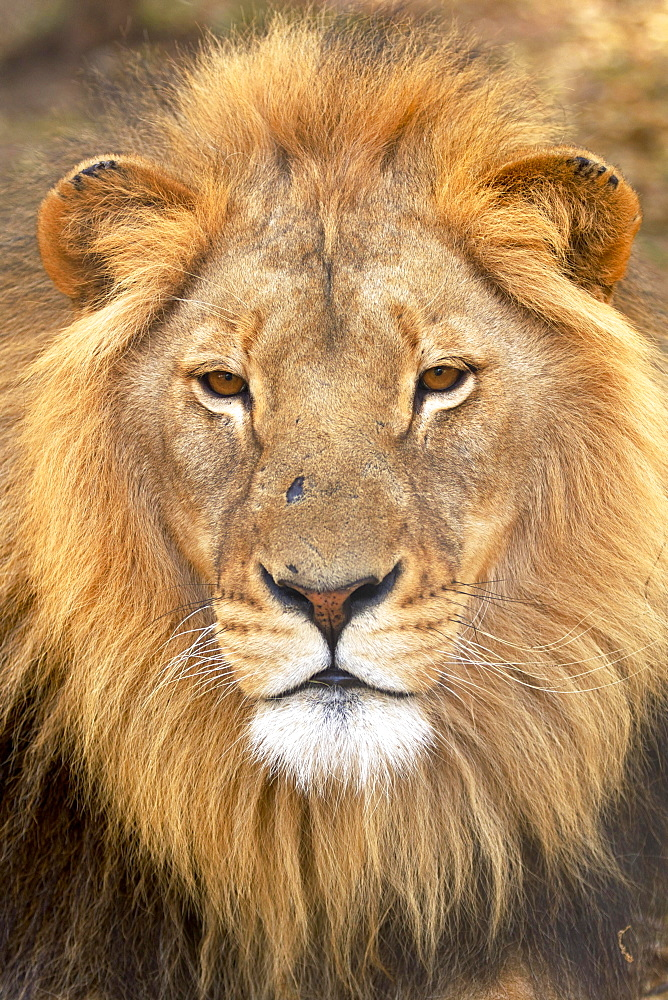 Lion (Panthera leo), male, South Africa, Africa