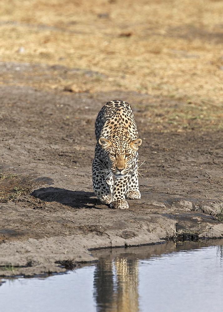 Leopard (Panthera pardus), waterhole, Etosha National Park, Namibia, Africa
