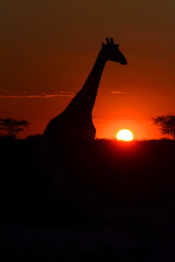 Giraffe (Giraffa camelopardalis) in the sunset, Hardap Region, Namibia, Africa