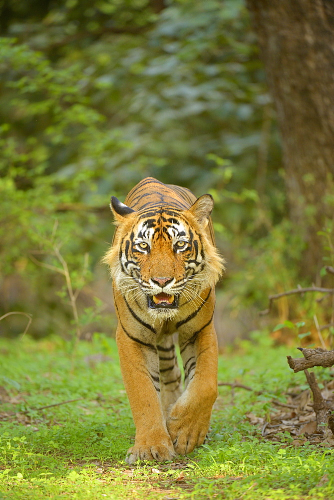 Bengal Tiger (Panthera tigris tigris) walking in the forest, Ranthambhore National Park, Sawai Madhopur, India, Asia