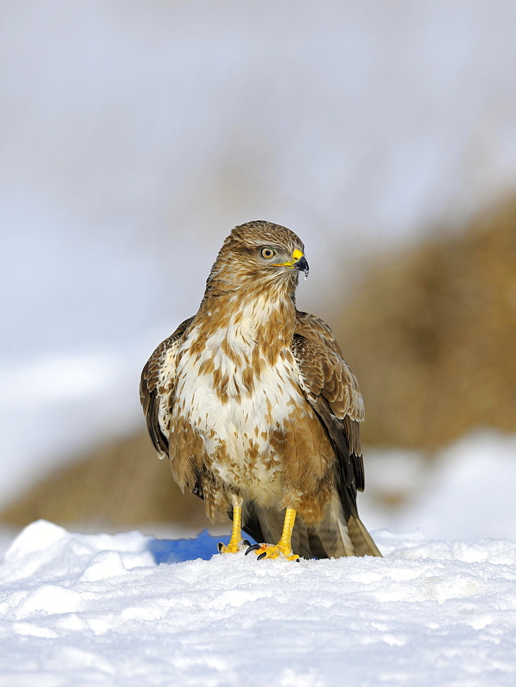 Common Buzzard (Buteo buteo) resting in the snow, Swabian Alb biosphere reserve, Baden-Württemberg, Germany, Europe