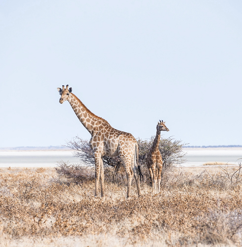 Giraffe (Giraffa camelopardis) with young standing next to bushes, Etosha Pan, Etosha National Park, Namibia, Africa