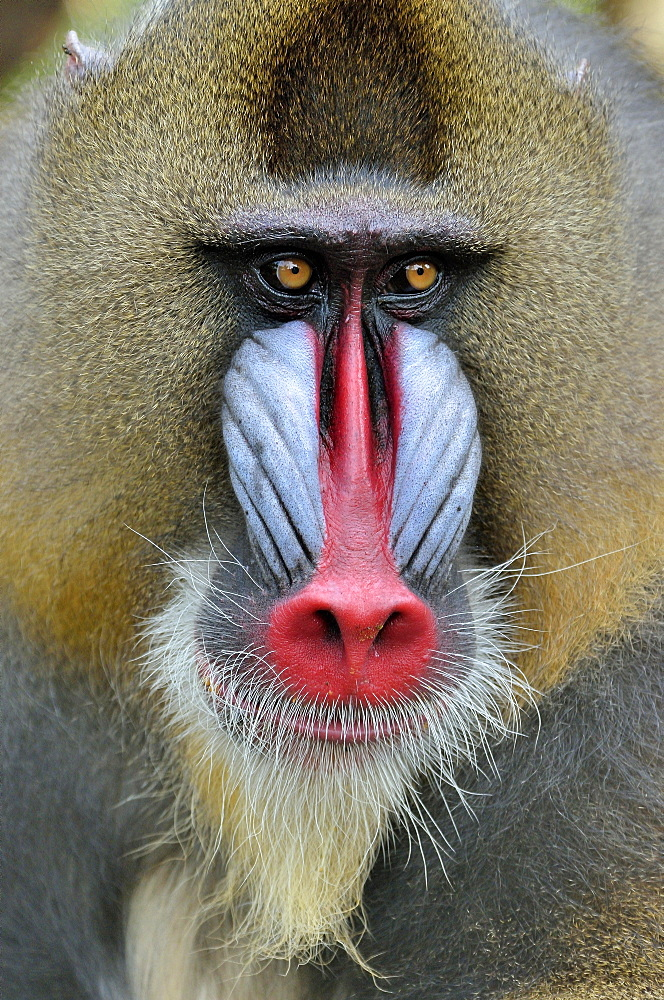 Mandrill (Mandrillus sphinx), male, animal portrait, captive, South-West Region, Cameroon, Africa