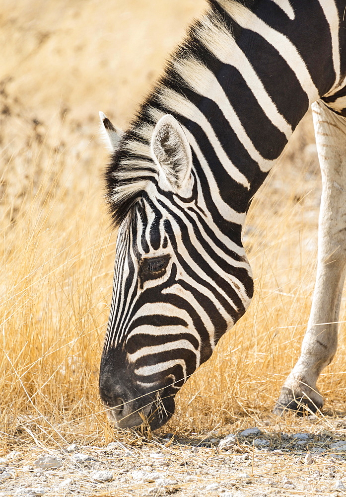 Plains Zebra (Equus quagga), Etosha National Park, Namibia, Africa