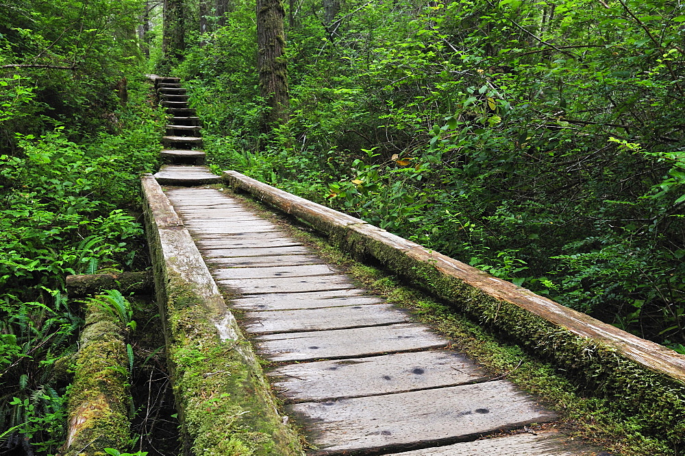 Wooden path in the rainforest, Olympic National Park, Washington, USA, North America