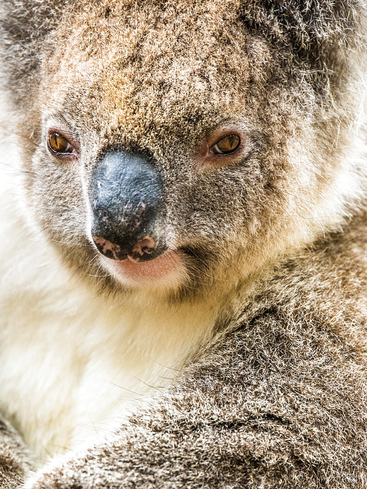 Koala (Phascolarctos cinereus), animal portrait, South Australia, Australia, Oceania