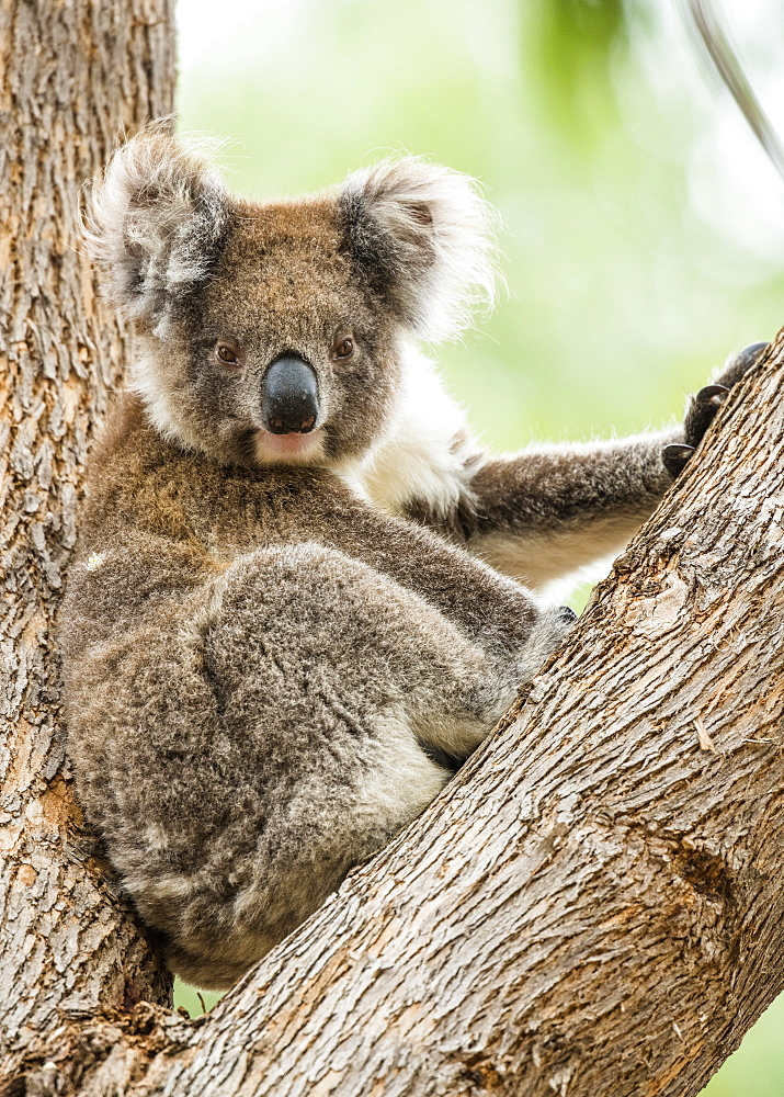 Koala (Phascolarctos cinereus), sits in a tree, South Australia, Australia, Oceania
