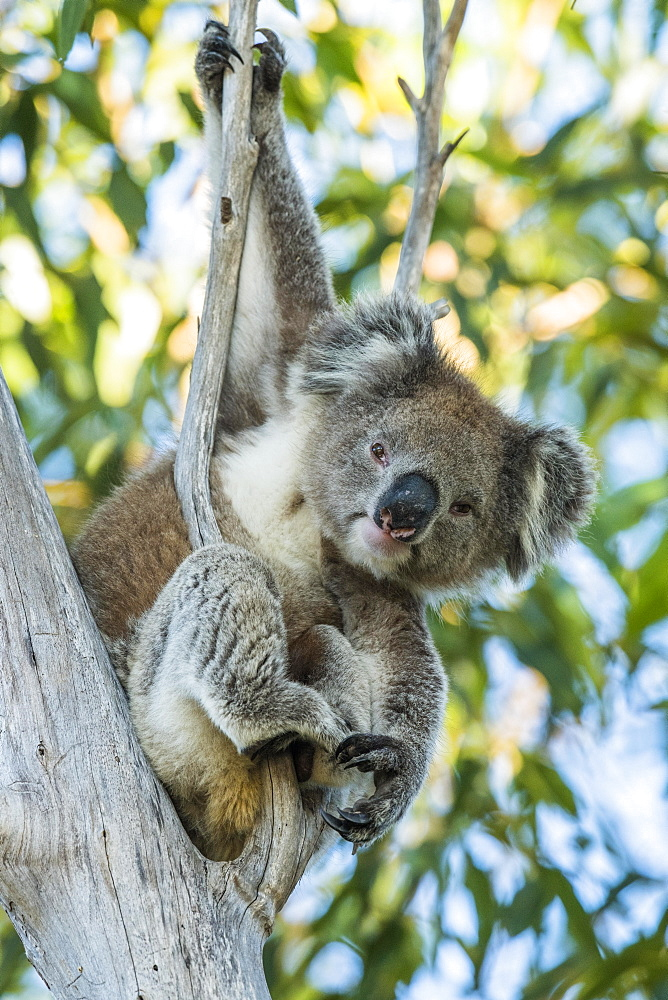 Koala (Phascolarctos cinereus), sits in a tree, South Australia, Australia, Oceania