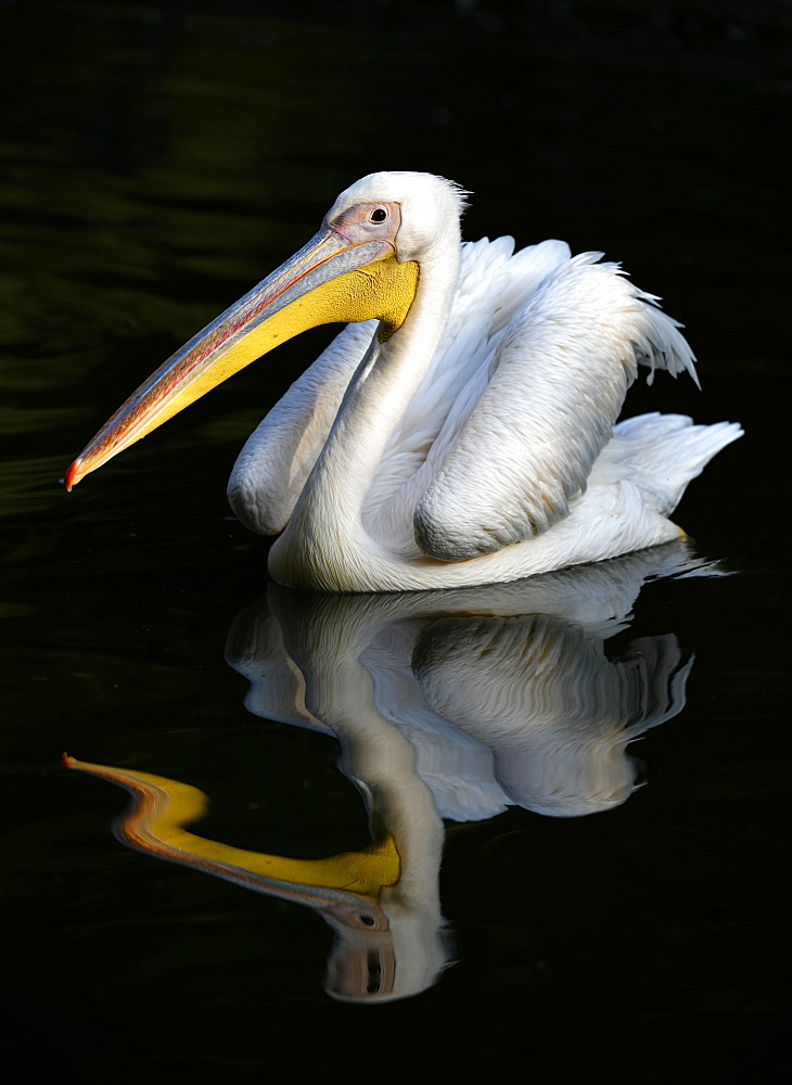 Great white pelican (Pelecanus onocrotalus), reflection in the water, captive, Germany, Europe