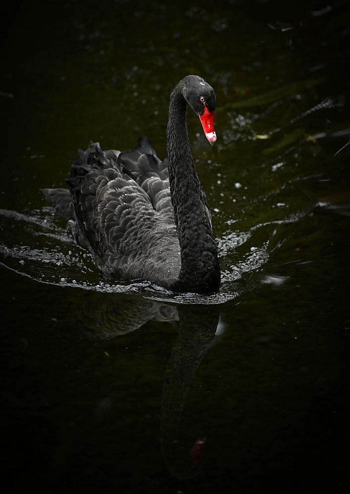 Black swan (Cygnus atratus) swimming in the water, Spain, Europe