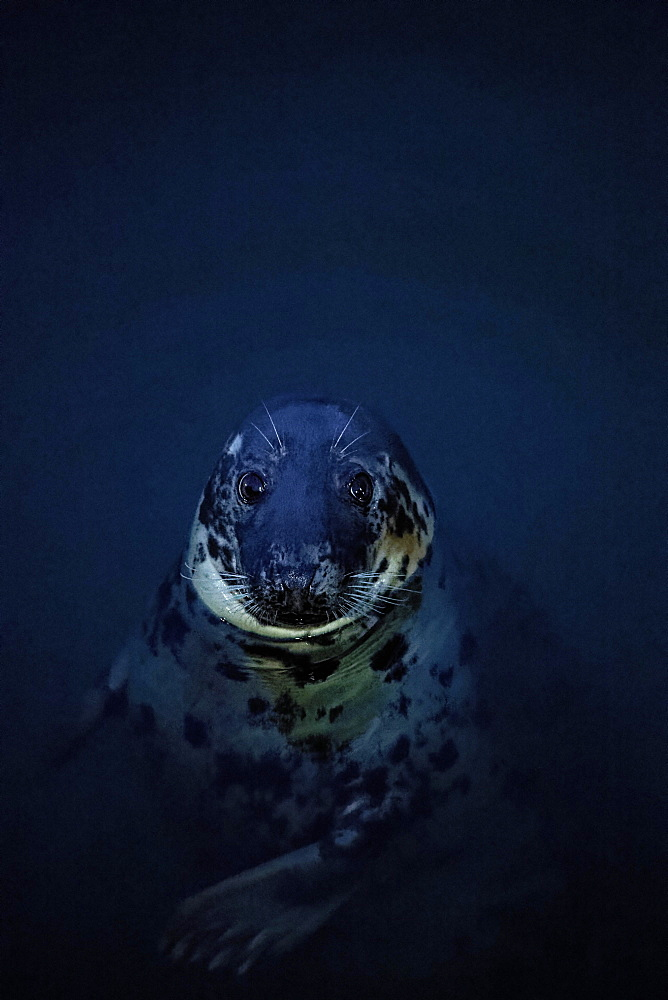 Pinniped (Pinnipedia) looking out of blue water in the harbour, Howth Harbour, Dublin, Leinster Province, Ireland, Europe