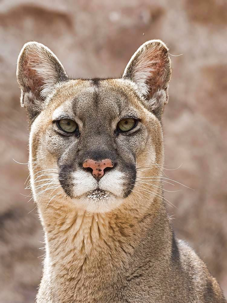Cougar (Cougar concolor), animal portrait, captive, Andes, Peru, South America