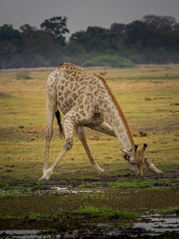 Giraffe (Giraffa camelopardalis giraffa) drinking, Moremi Game Reserve, Botswana, Africa