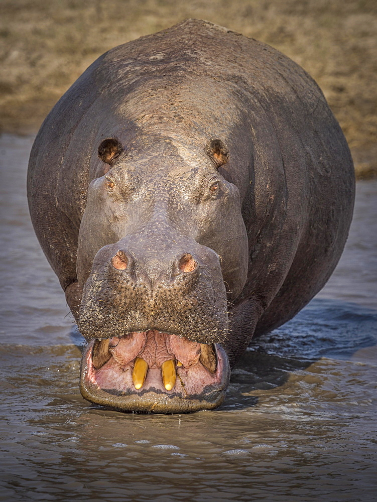 Hippo (Hippopotamus amphibius) showing his teeth, Moremi Game Reserve, Botswana, Africa